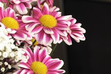 Pink And White Chrysanthemums Royalty Free Stock Photography