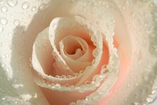 Free Pink White Rose Royalty Free Stock Images - 4701989