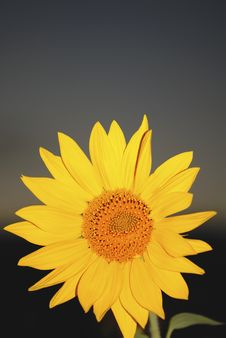 Free Sunflower Royalty Free Stock Photography - 4702127
