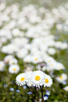 White Daisies In A Meadow Stock Photos