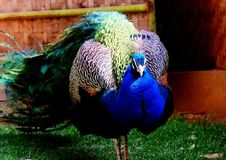 Free Green Peacock Royalty Free Stock Images - 4702309