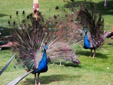 Free Green Peacock Stock Photography - 4702362