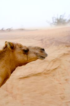 Free Head Camel Royalty Free Stock Photography - 4703787
