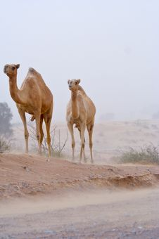 Free Wild Camels Royalty Free Stock Image - 4703876