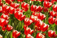 Free Red Tulips Stock Images - 4704074