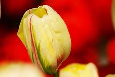 Free Tulip Bud Stock Image - 4704111