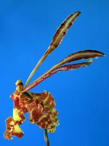 Oncidium Orchid Stock Image