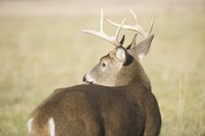 Free Whitetail Buck Looking Back Stock Photos - 4704283