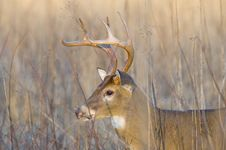 Free Whitetail Buck In Evening Light Royalty Free Stock Photo - 4704305