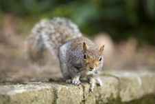 Free Squirrel Royalty Free Stock Image - 4704946