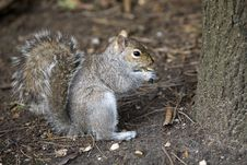 Free Squirrel Royalty Free Stock Photos - 4704988