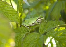 Pacific Treefrog Stock Photography