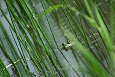 Free Frog In The Marsh Stock Photos - 4705123