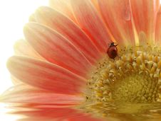 Free Ladybird On Gerber Daisy With Reflection Royalty Free Stock Photography - 4705477