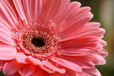 Pink Gerber With Raindrops Stock Photos