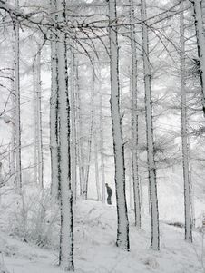 Free Snow-covered Woods Royalty Free Stock Photography - 4706047