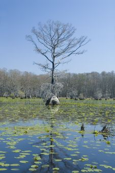 Free Cypress Tree And Lilypads Royalty Free Stock Image - 4706296