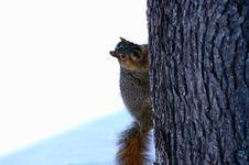 Free Squirrel Stock Image - 4706851