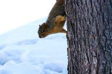 Free Squirrel Stock Images - 4706854