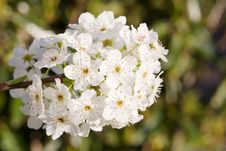 Pear Blossoms Royalty Free Stock Photography