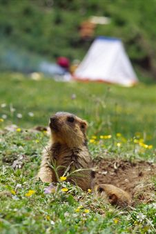 Free Marmot Stock Photography - 4707112