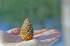 Free Pine Cone Royalty Free Stock Photo - 4707195