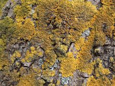 Free Lichen Royalty Free Stock Photo - 4707575