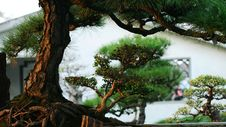 Free Bonsai Royalty Free Stock Images - 4708169