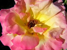 Free Center Of Rose Royalty Free Stock Image - 4708366
