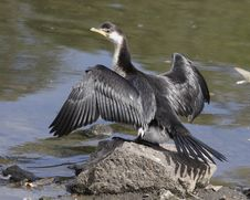 Free Cormorant Stock Photo - 4708460