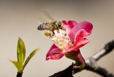 Free Crabapple Flowers & Bee Stock Photo - 4709100