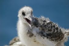Free Gull Baby Royalty Free Stock Images - 4709519