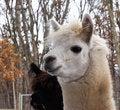 Free Alpaca Stock Photos - 4711943