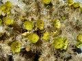 Free Blooming Cacti Royalty Free Stock Photo - 4712625