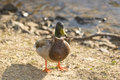 Free Male Malard Duck Stock Photos - 4715953