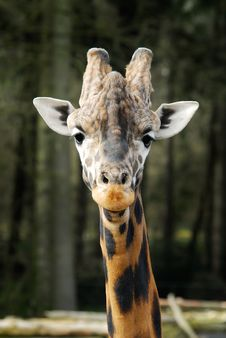 Free Cute Giraffe Royalty Free Stock Photos - 4710208