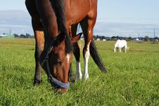 Bay And Grey Beauty Horses Eat Grass At The Field Royalty Free Stock Image
