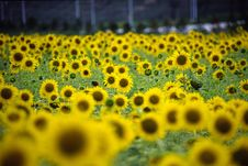Free Sunflower Field Royalty Free Stock Image - 4710726