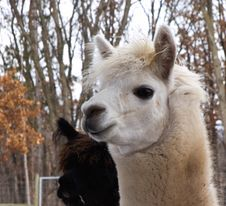 Free Alpaca Stock Photos - 4711943
