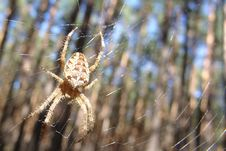 Free Spider Royalty Free Stock Photography - 4712257
