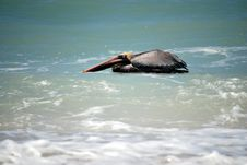 Free Floating Brown Pelican Stock Photo - 4713910