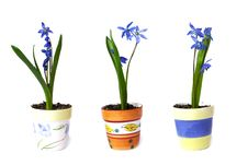 Free Three Flowerpots With Snowdrops Royalty Free Stock Photography - 4713937