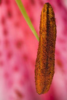 Pink Lily Flower Pollen Macro Stock Photos