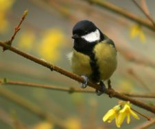 Free The Great Tit Royalty Free Stock Photos - 4714758