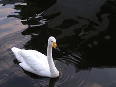 Free White Swan On The Water Royalty Free Stock Image - 4714796