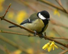 Free The Great Tit Stock Images - 4714854