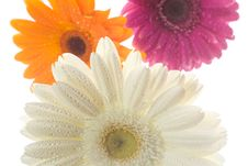 Free Three Gerberas With Waterdrops Stock Photography - 4715422