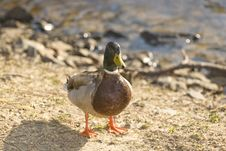 Free Male Malard Duck Stock Photos - 4715953
