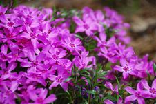 Free Purple Phlox Flower Stock Photo - 4716060