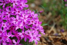 Free Purple Phlox Flower Stock Images - 4716064